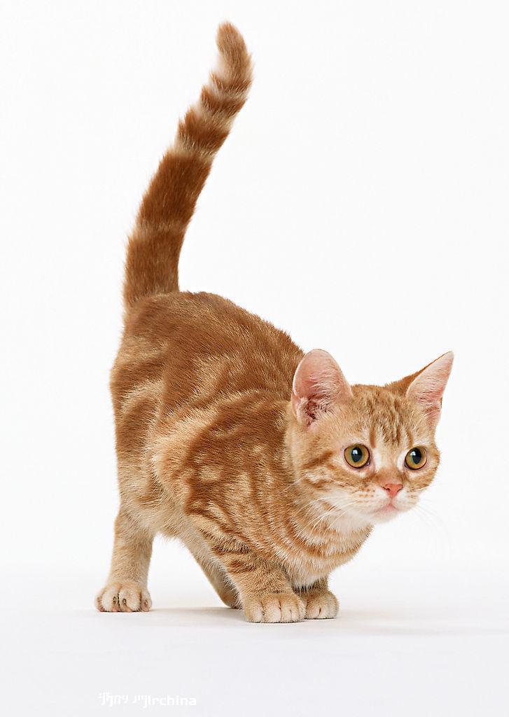 宠物讲堂-猫咪尾巴的作用-宠物知识-傲雄宠物·